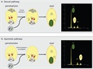 Flow Cytometry Applied to Plant Reproductive Biology