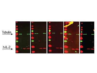 An Automated System to Improve Western Blot Processing