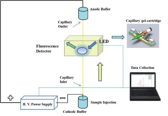 Use of a Pen-Shaped Capillary Gel Electrophoresis Cartridge